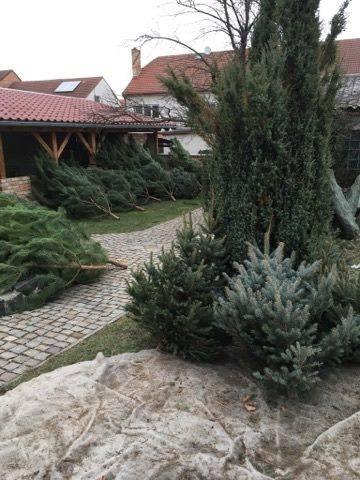 🎄 Tradiční prodej vánočních stromků. 🎄